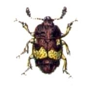 Carpophilus.hemipterus.-.calwer.13.25.jpg