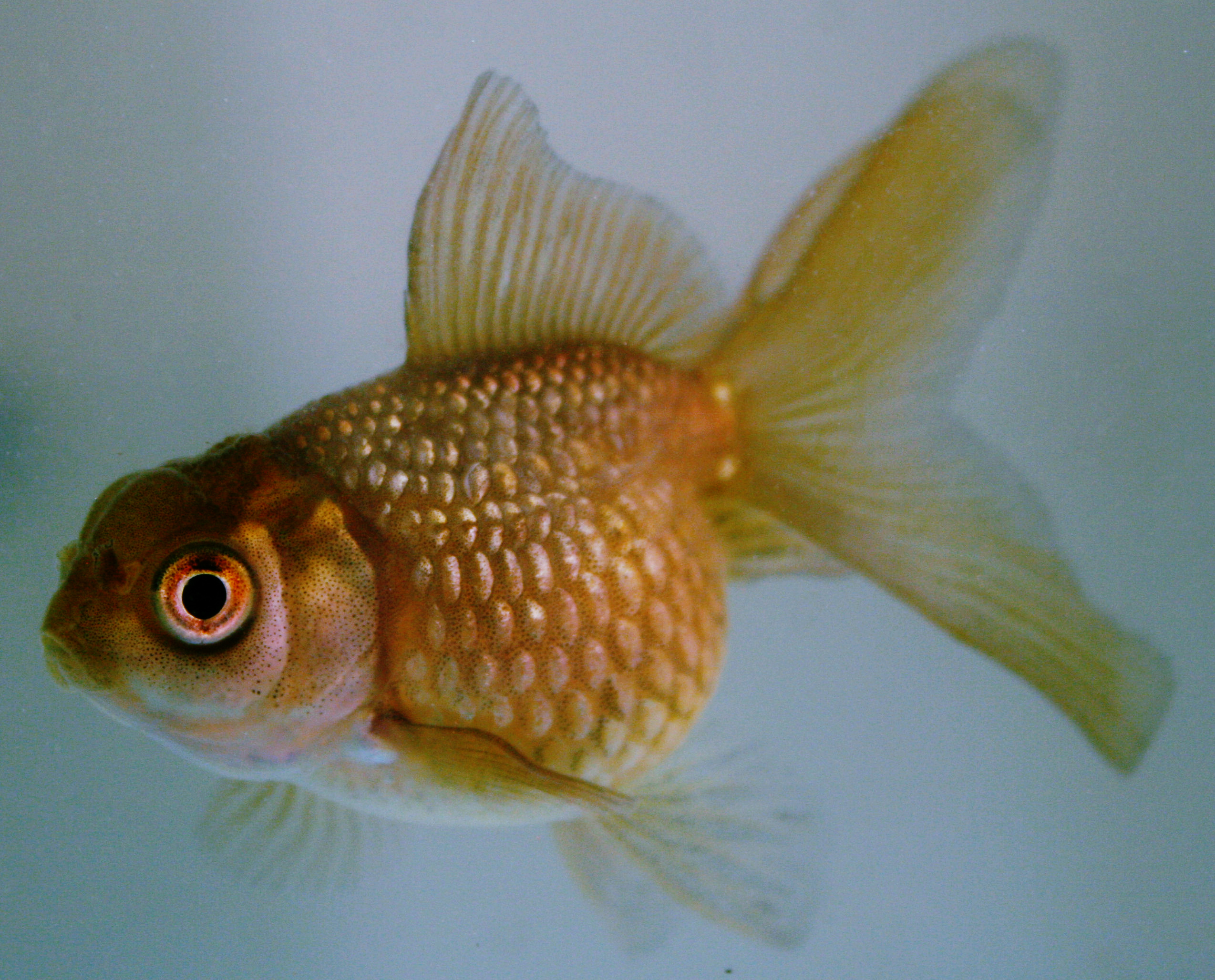 File:Chocolate pearlscale goldfish.JPG - Wikimedia Commons