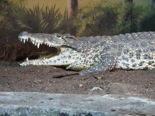 File:Cuban Crocodile.JPG