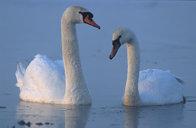 Swan Wikipedia A swan recognizes his girlfriend by her looks and will never confuse her with anyone else. swan wikipedia