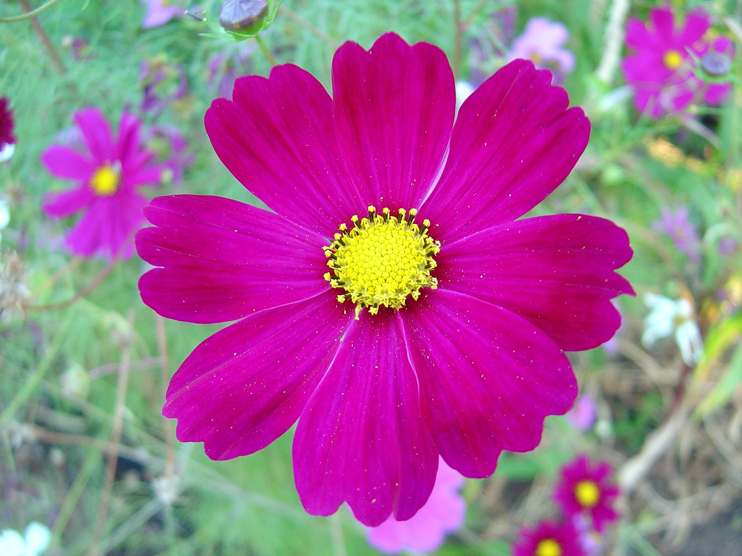 File dark pink cosmos wikimedia commons for Flor definition