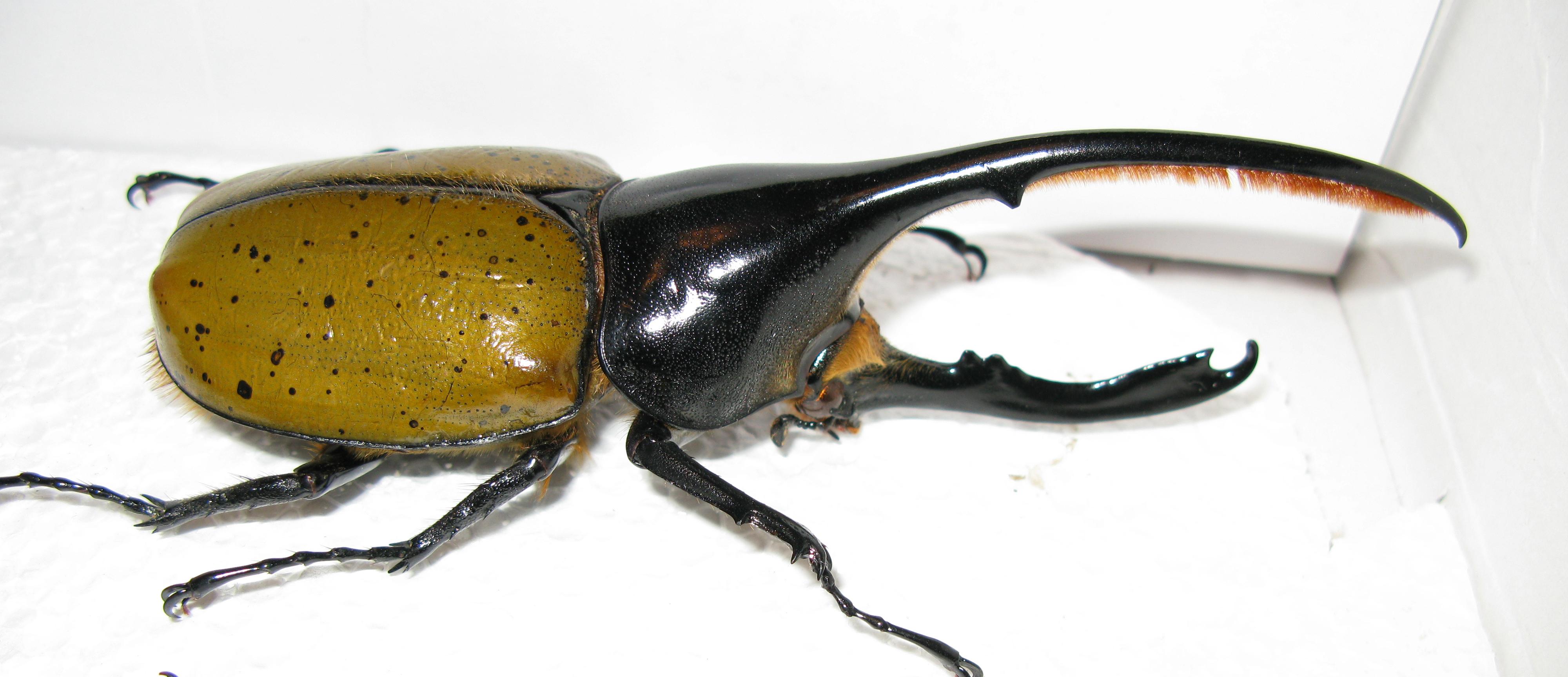 Horned Hercules Beetle