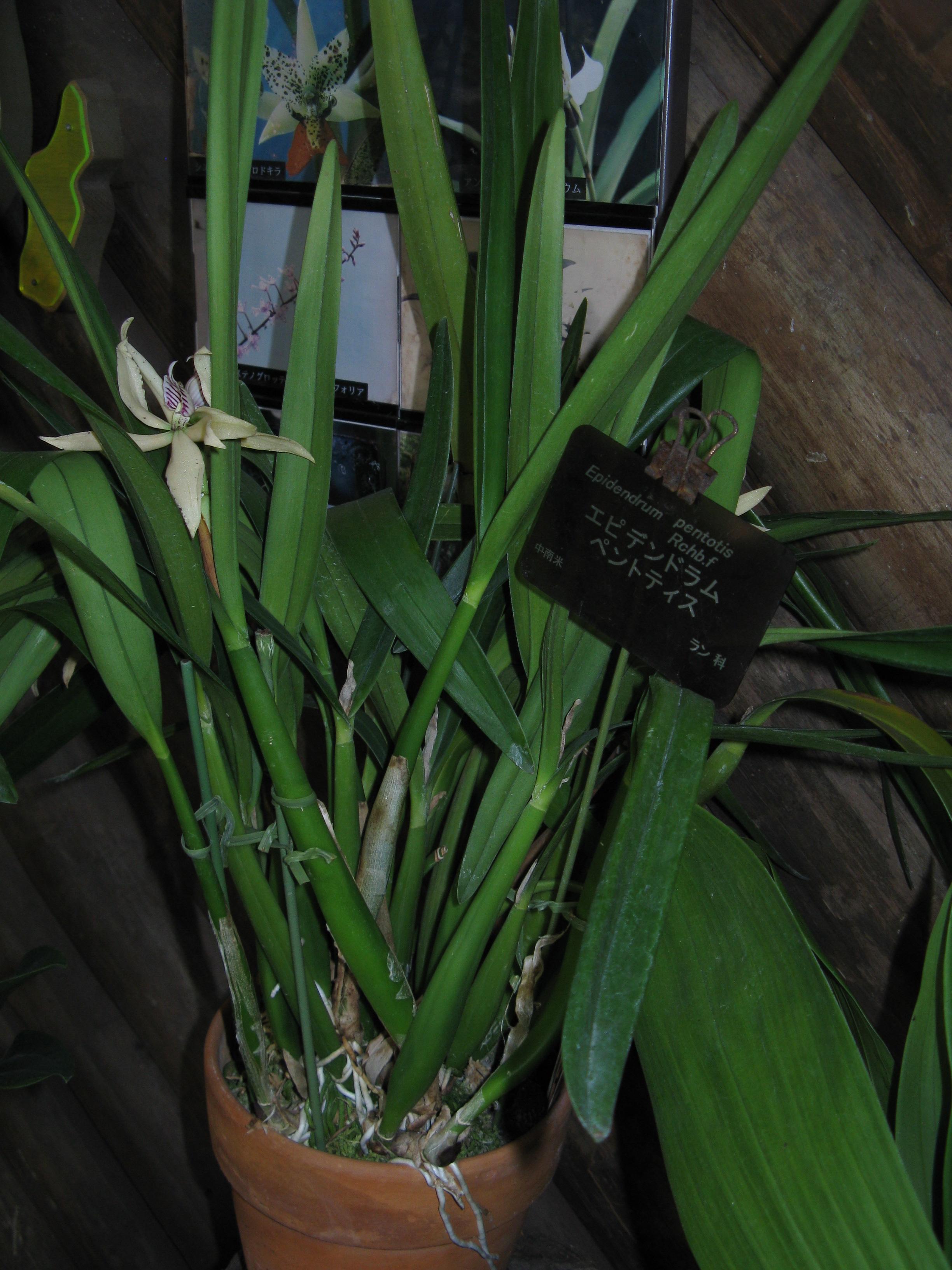 Orchidee Encylia baculus