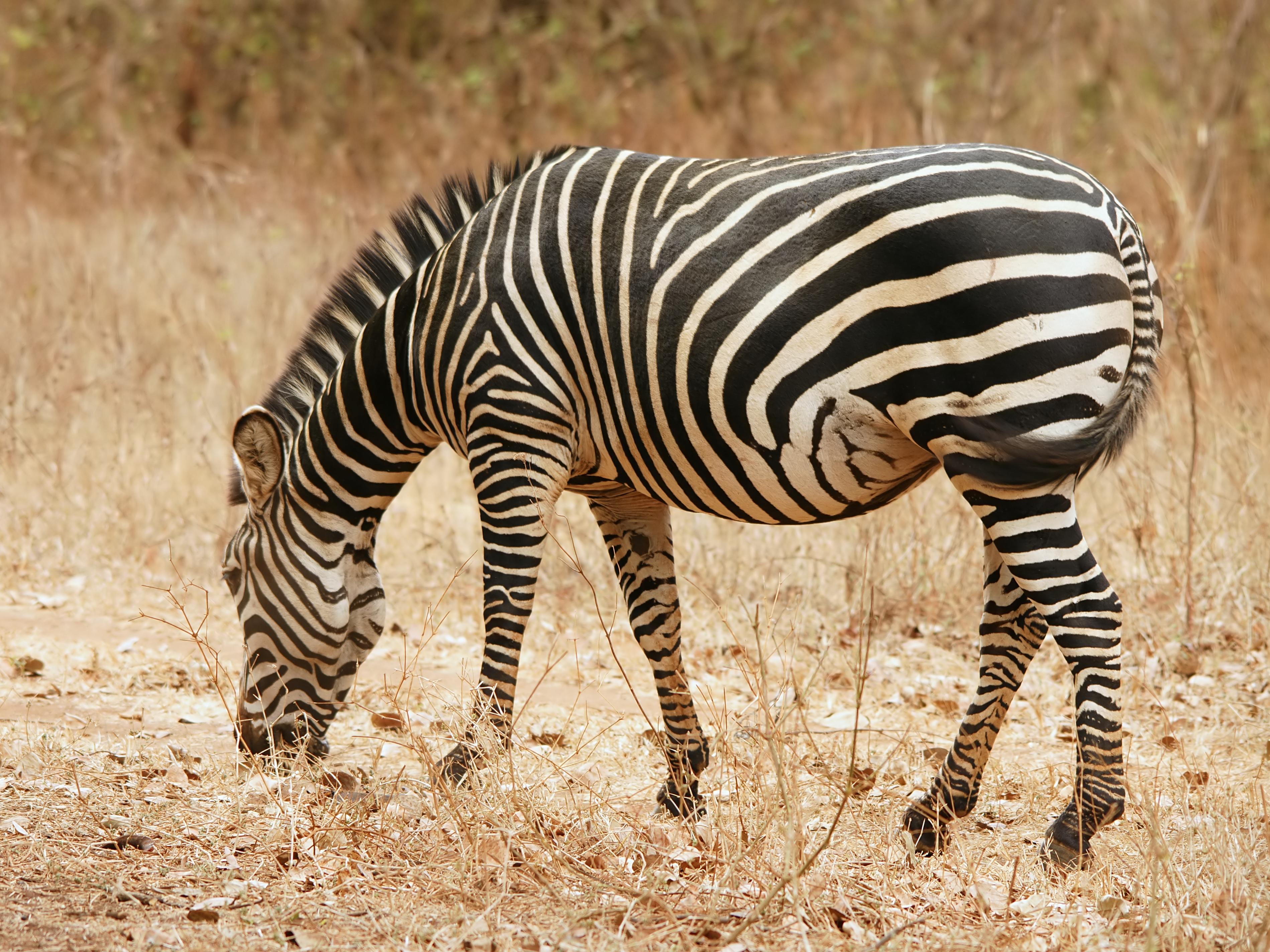 Wiki: Zebra - upcScavenger