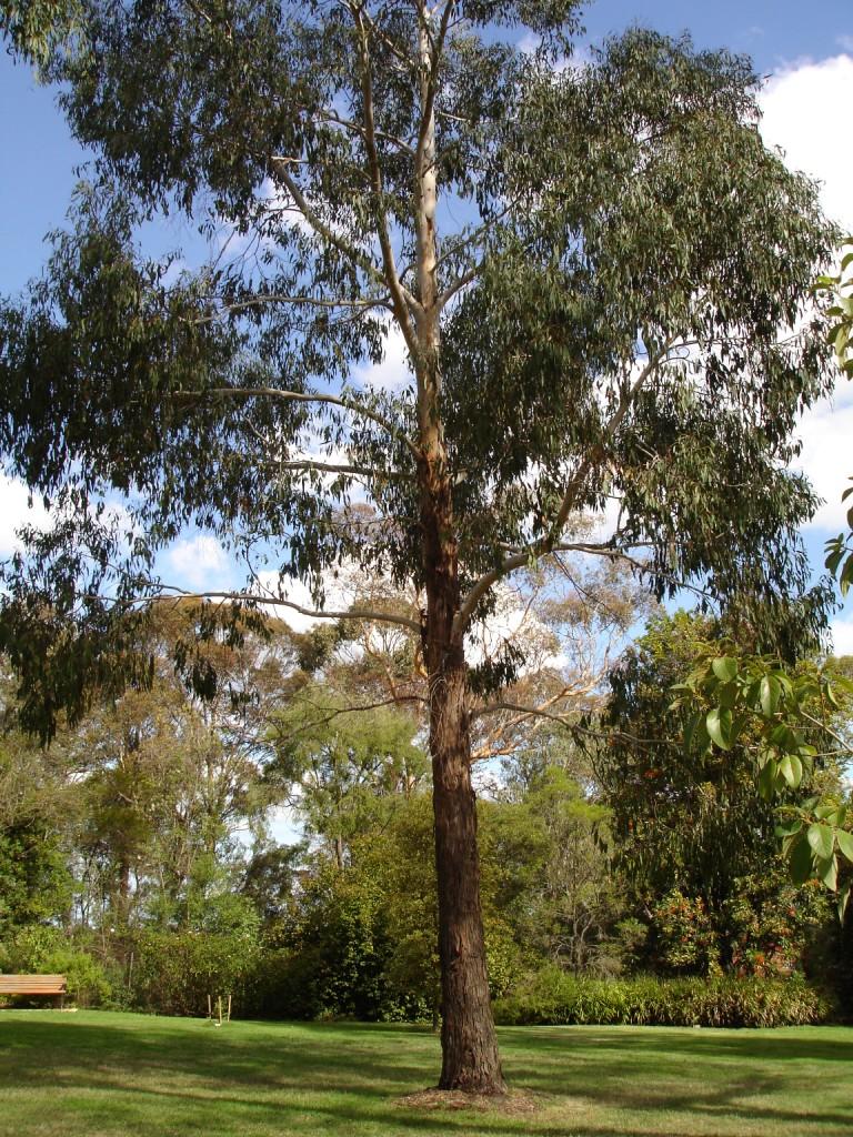 Eucalyptus Ovata Wikipedia