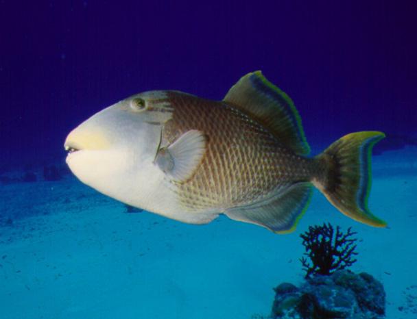 Ficheiro:Gelbsaum Drueckerfisch 0001.jpg