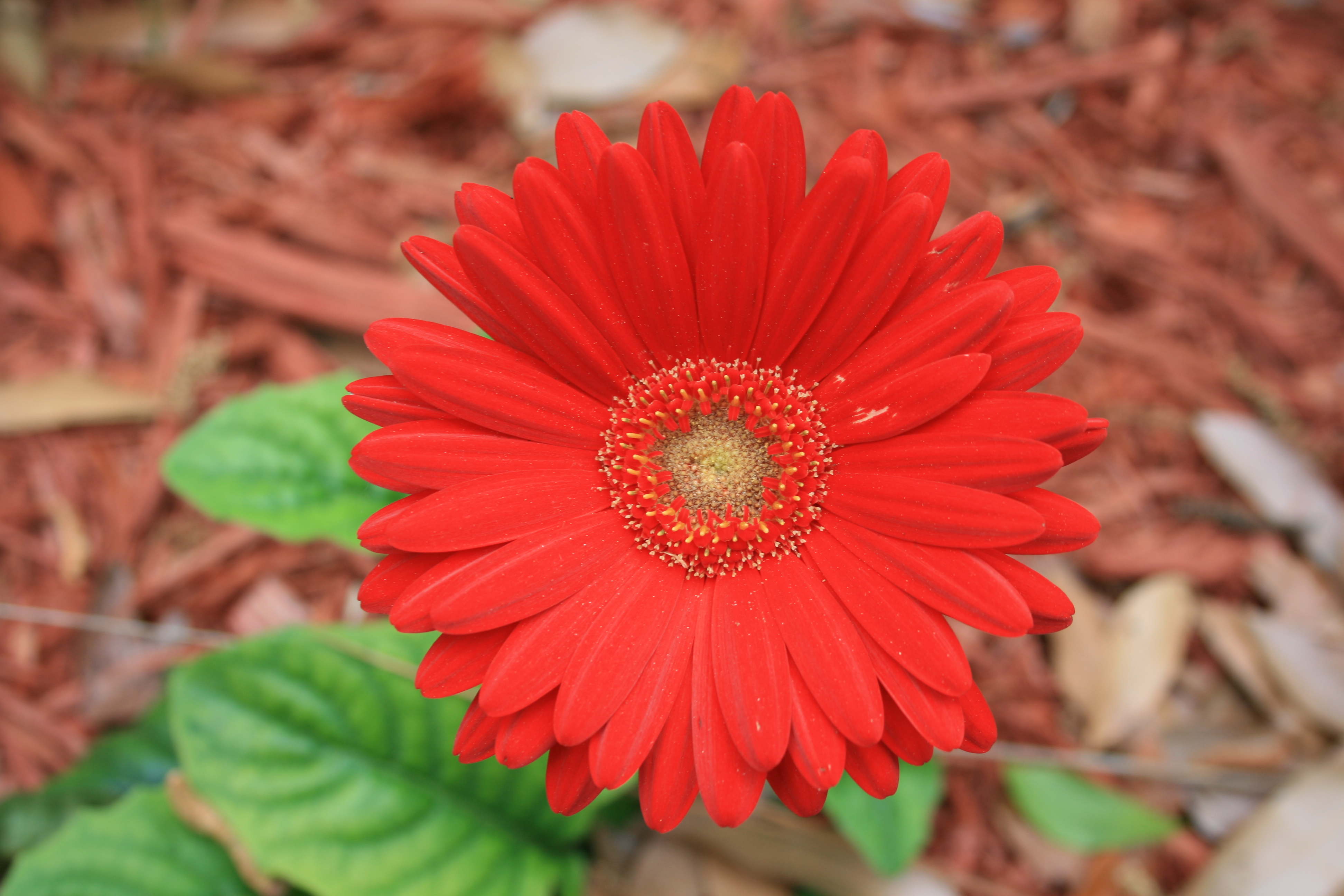 Description Gerbera Daisy Flower Digon3.JPG