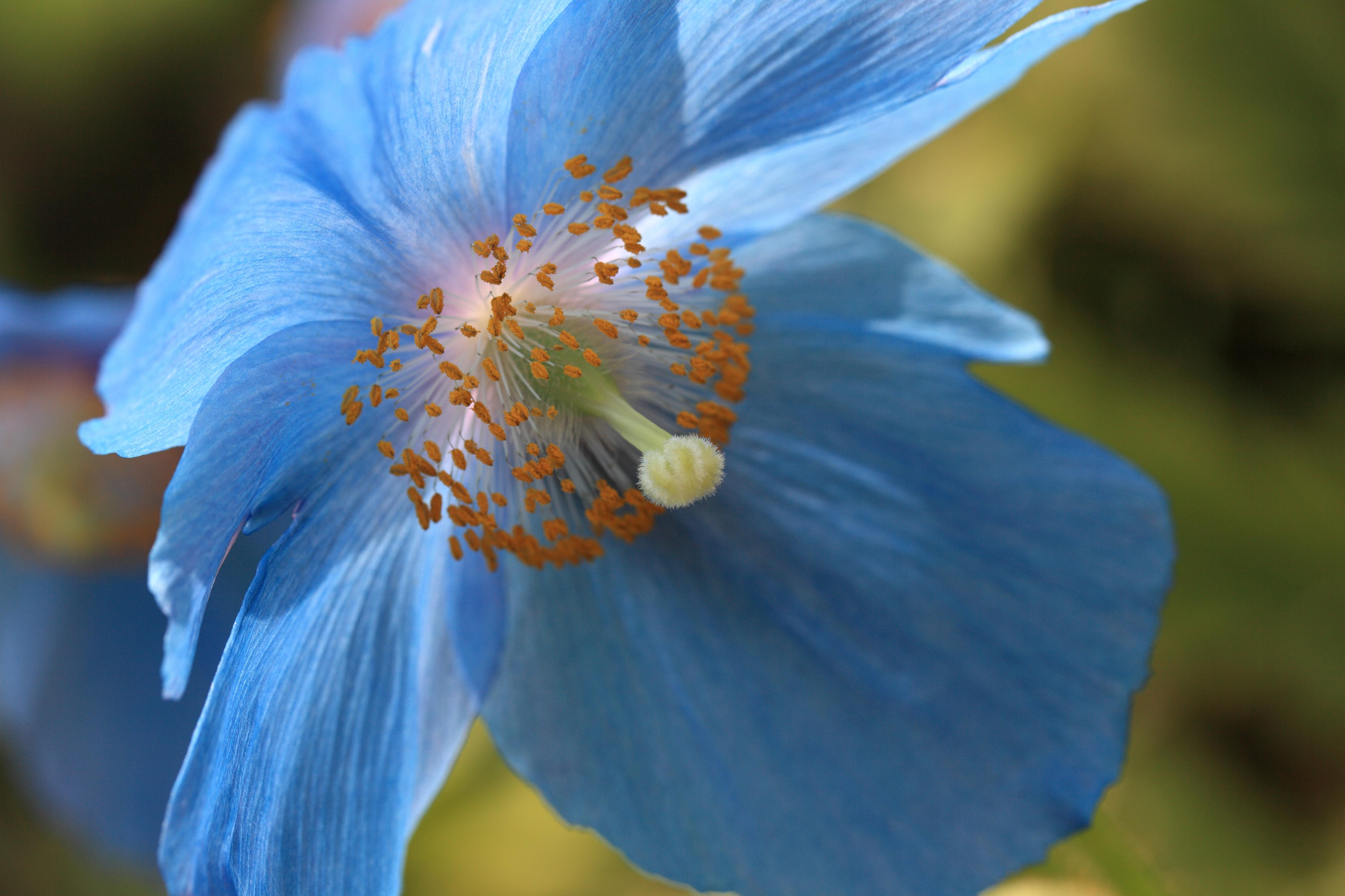 File Himalayan Blue Poppy Meconopsis Betonicifolia ヒマラヤの青いケシ 8932550724