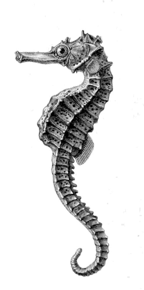 Réunion seahorse - Wikipedia