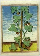 Hopfen. Anholter-Moyländer Kräuterbuch, um 1470, fol. 87v.