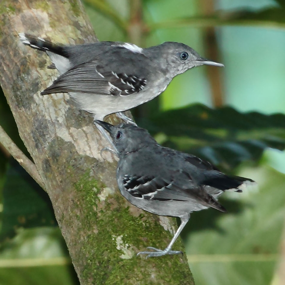 Antbird | Definition of Antbird by Merriam-Webster