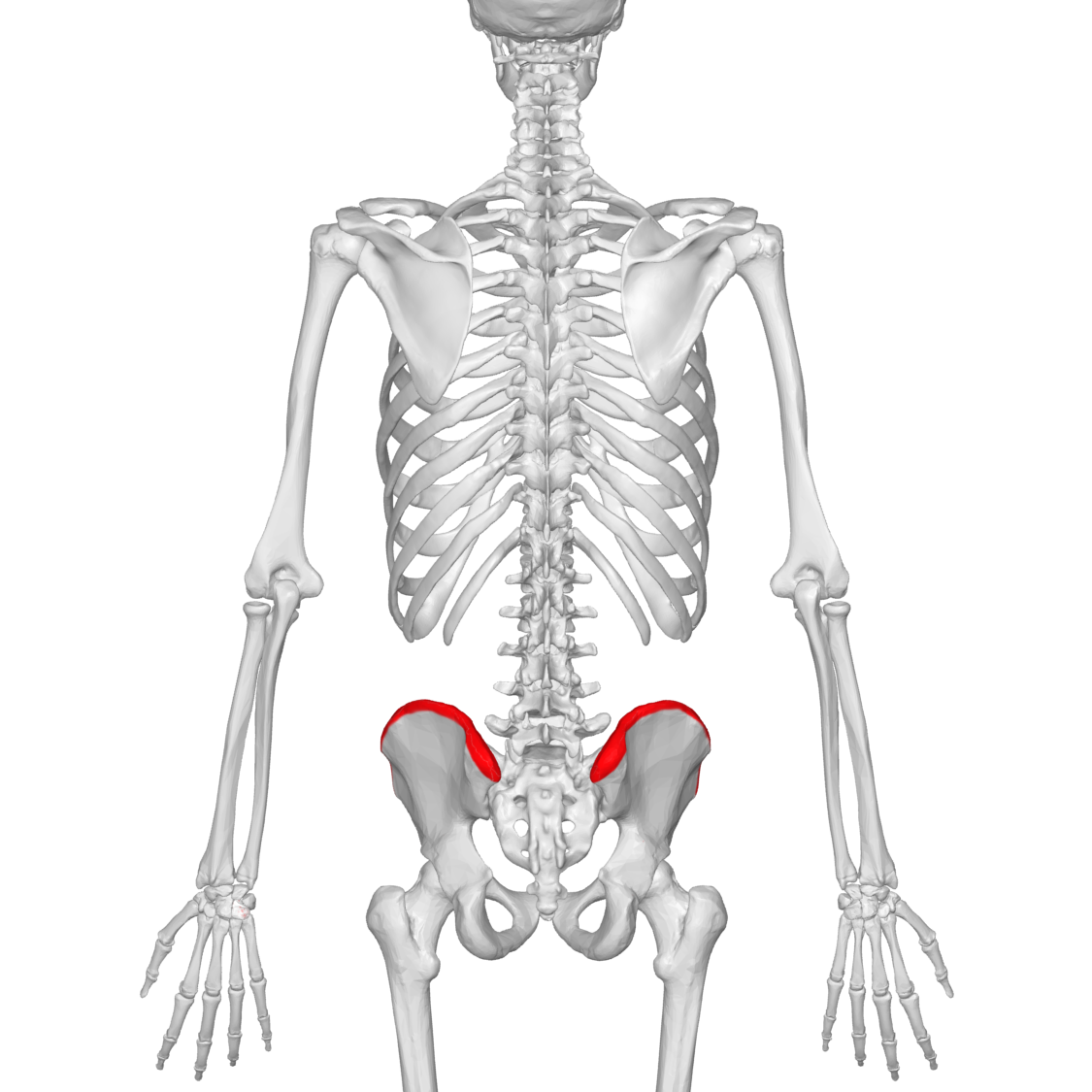 File:Iliac crest 02 - posterior view.png - Wikimedia Commons