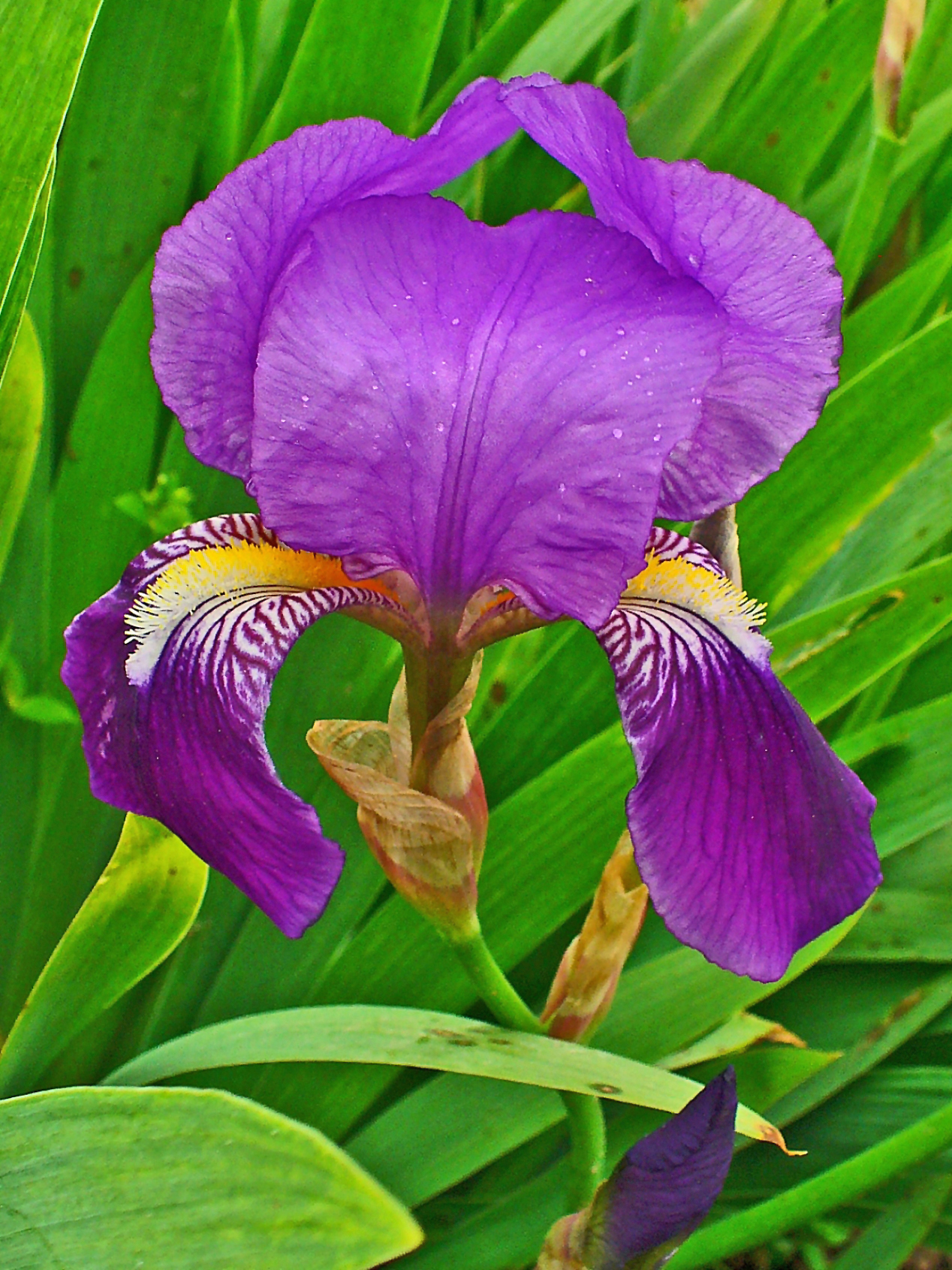 File iris germanica 0003 jpg wikimedia commons - Iris germanica ...
