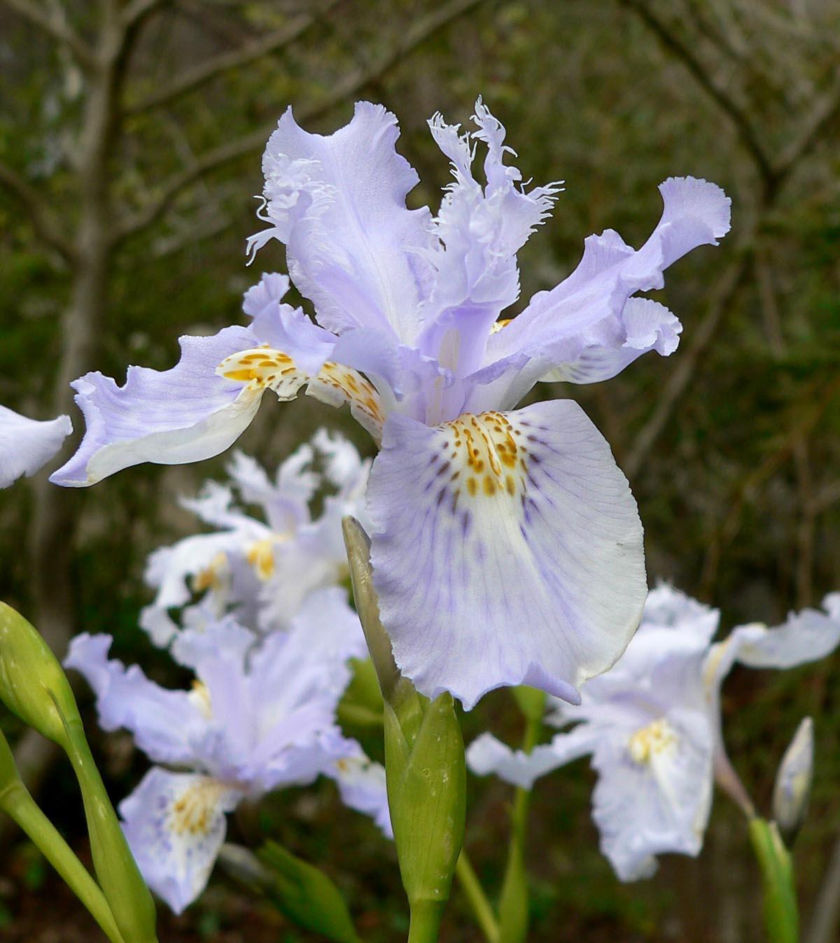 Iris wattii wikipedia izmirmasajfo