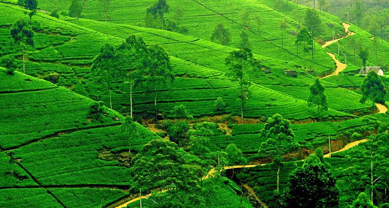 File:Kangra Tea Garden Is The Best Visit Place Of Dharamshala.jpg -  Wikimedia Commons