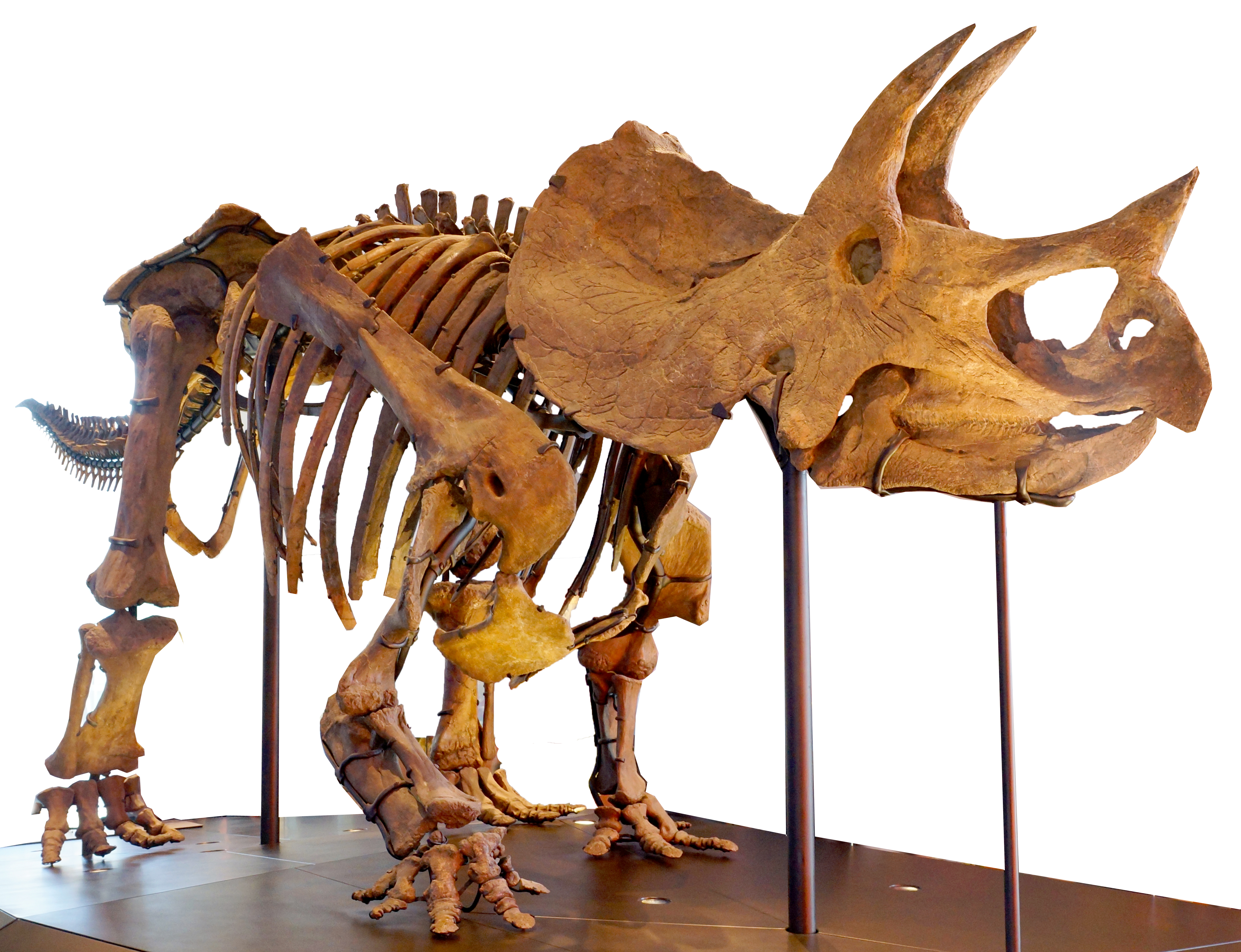 Triceratops Skeleton Natural History Museum