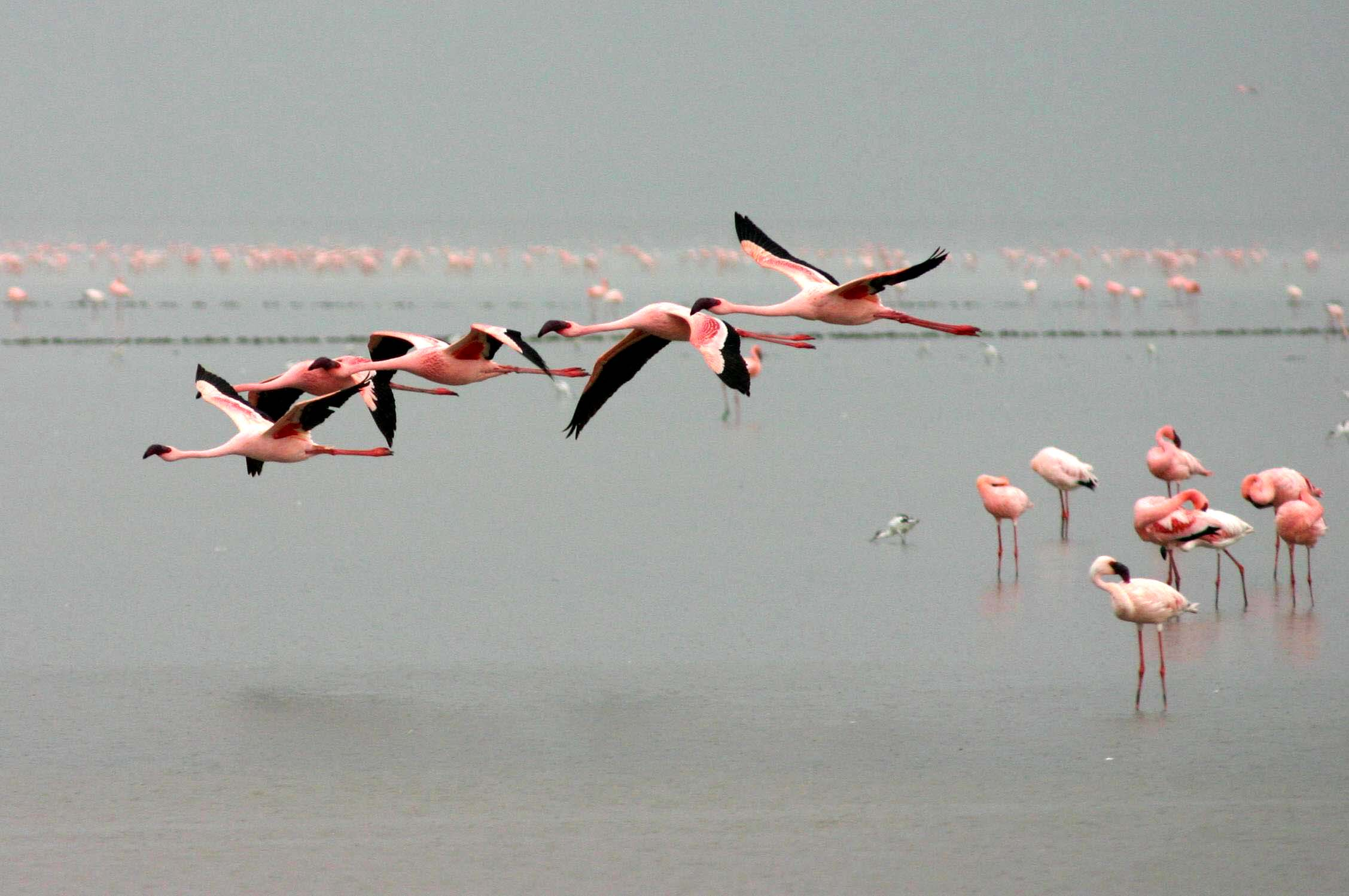 flying flamingoes ii by - photo #19