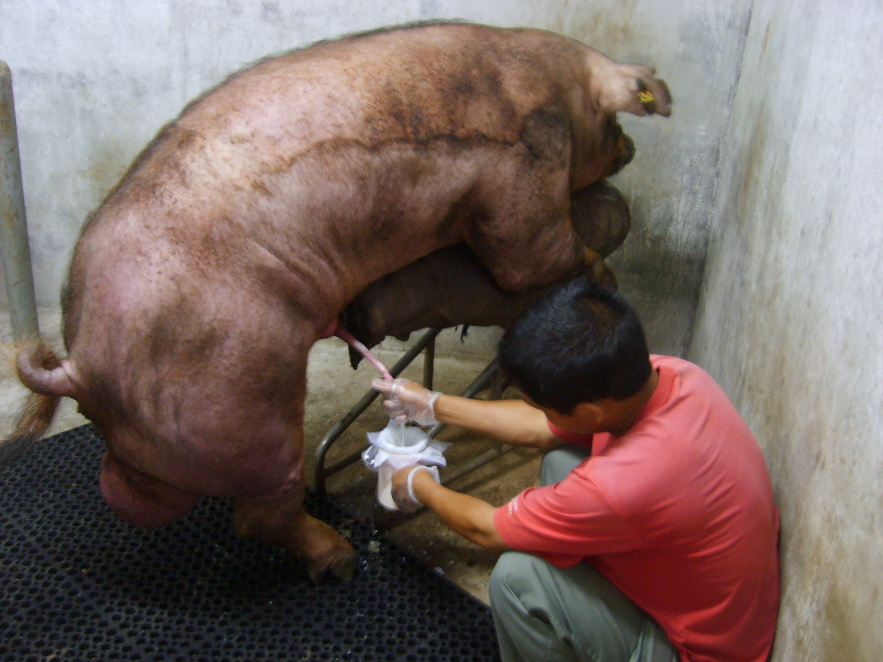 Descripción Man Is Collecting Semen From A Boar.JPG