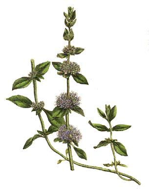 File:Mentha pulegium.jpg - Wikipedia, the free encyclopedia