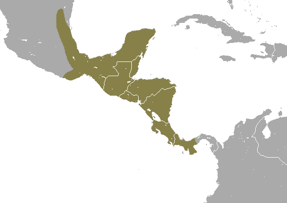 Mexican mouse opossum - Wikipedia