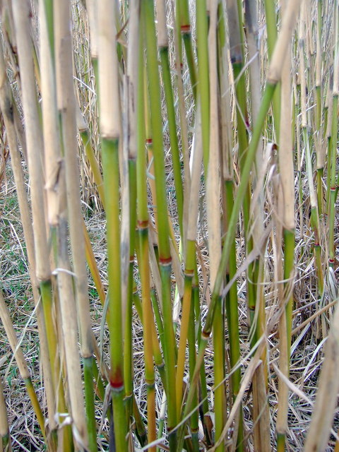 file miscanthus x giganteus stems in close up wikimedia commons. Black Bedroom Furniture Sets. Home Design Ideas