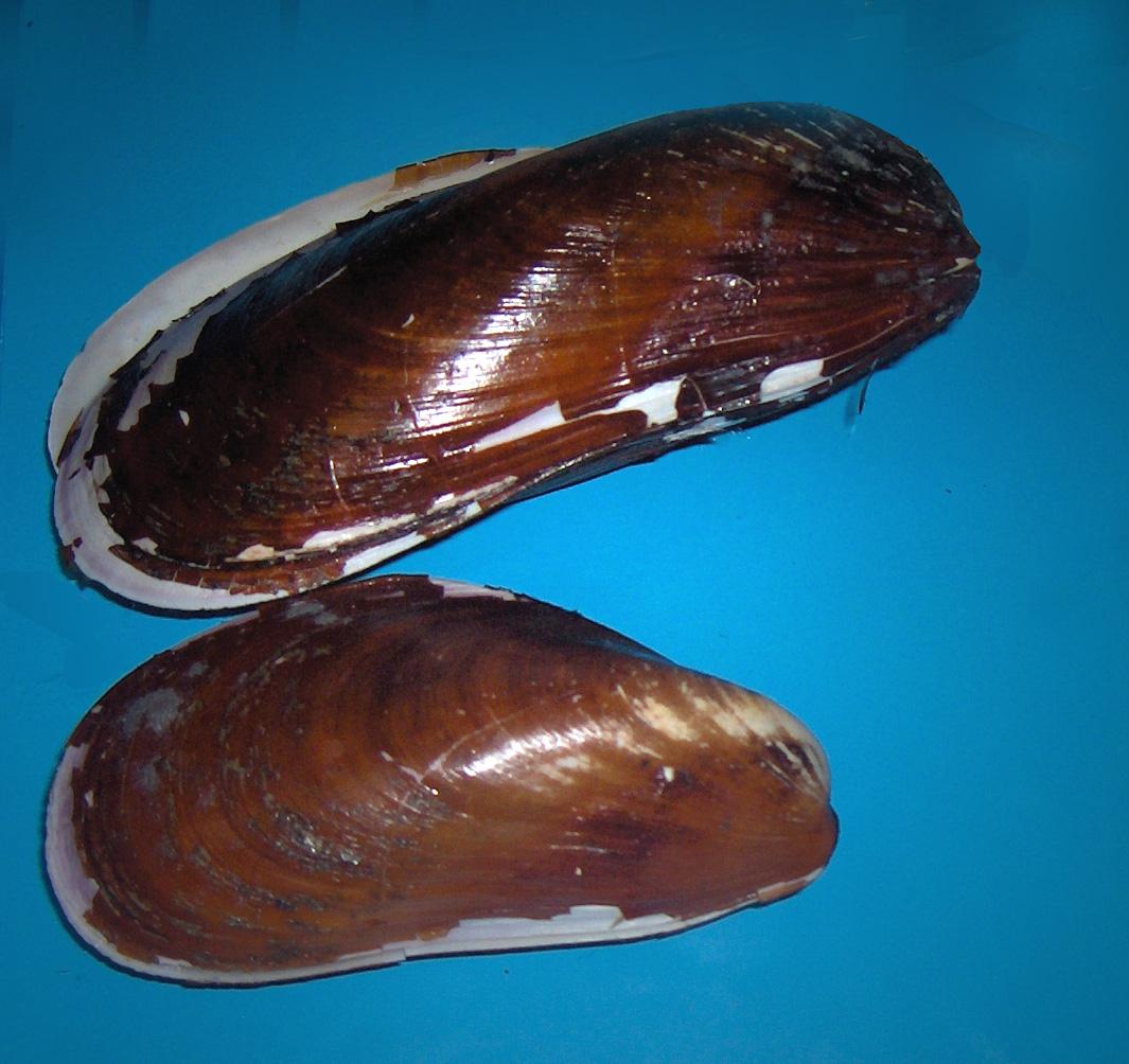 Modiolus modiolus - Wikipedia