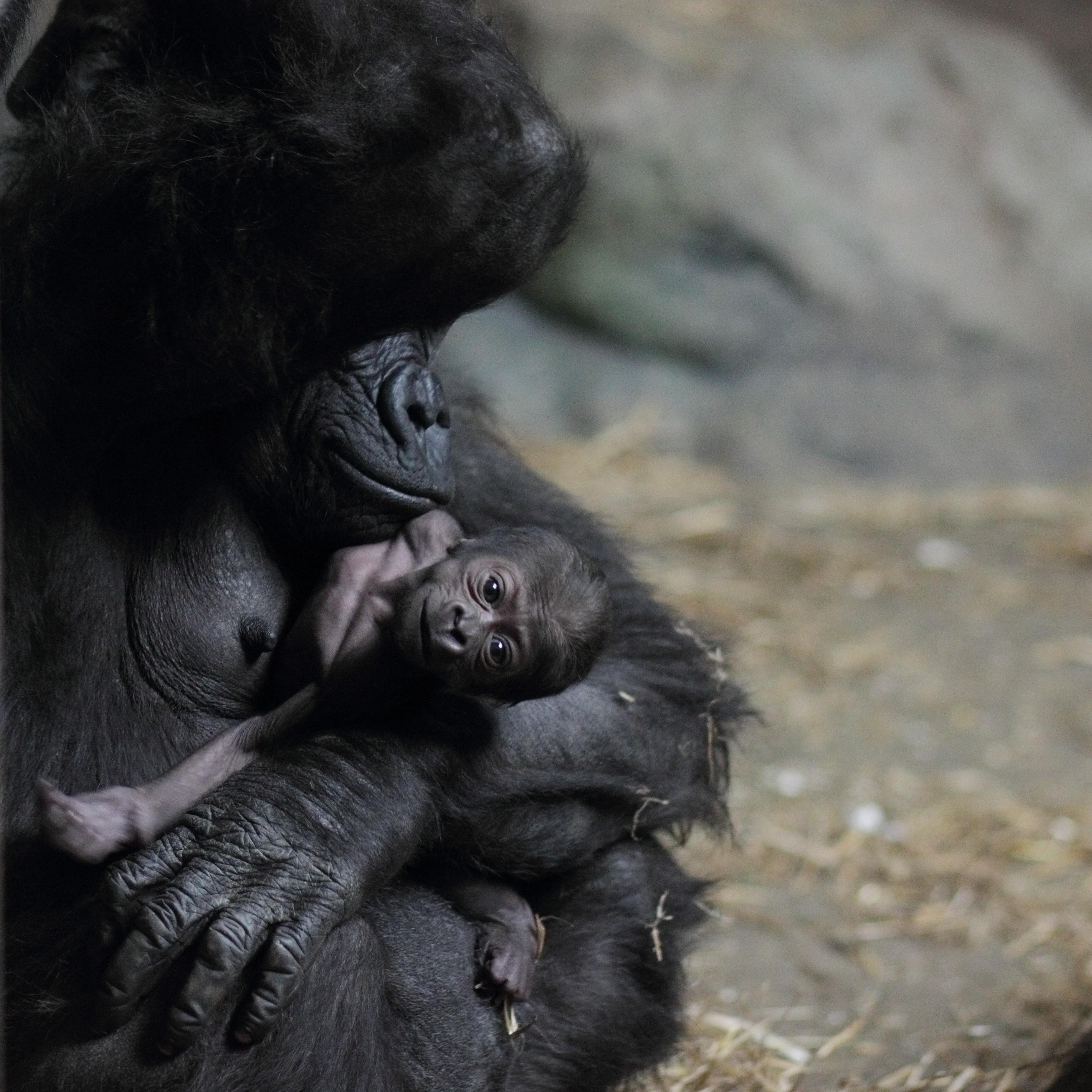 File:Moka with baby gorilla at Pittsburgh Zoo 12, 2012-02 ... Newborn Silverback Gorilla