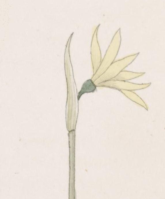 Narcissus cavanillesii wikipedia la enciclopedia libre for Anales del jardin botanico