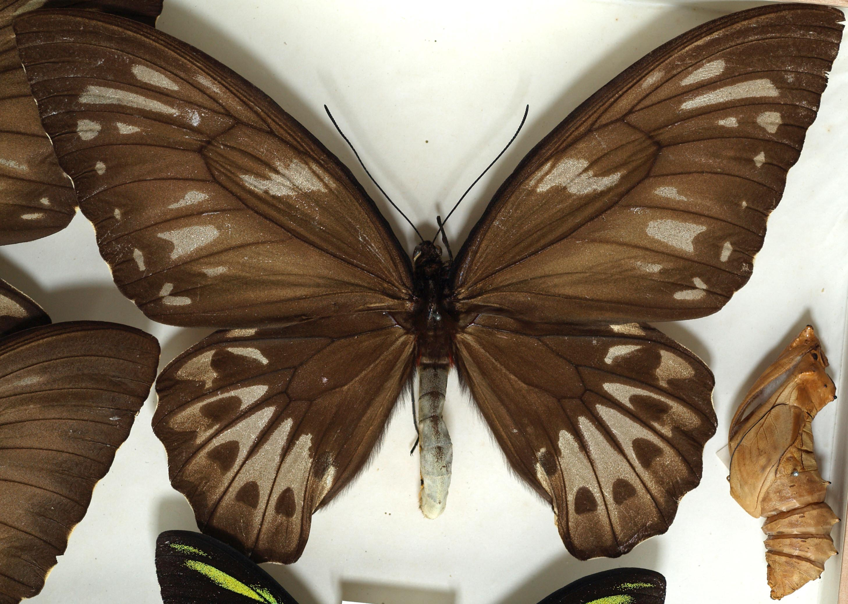 Displaying 16> Images For - Goliath Birdwing Butterfly Size...