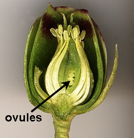 Location of ovules inside a Helleborus foetidus flower