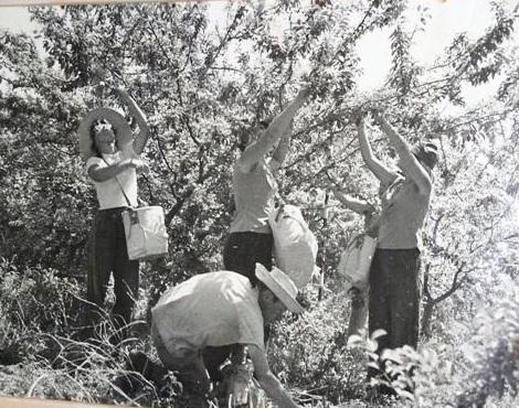 קטיף תפוחים במטע