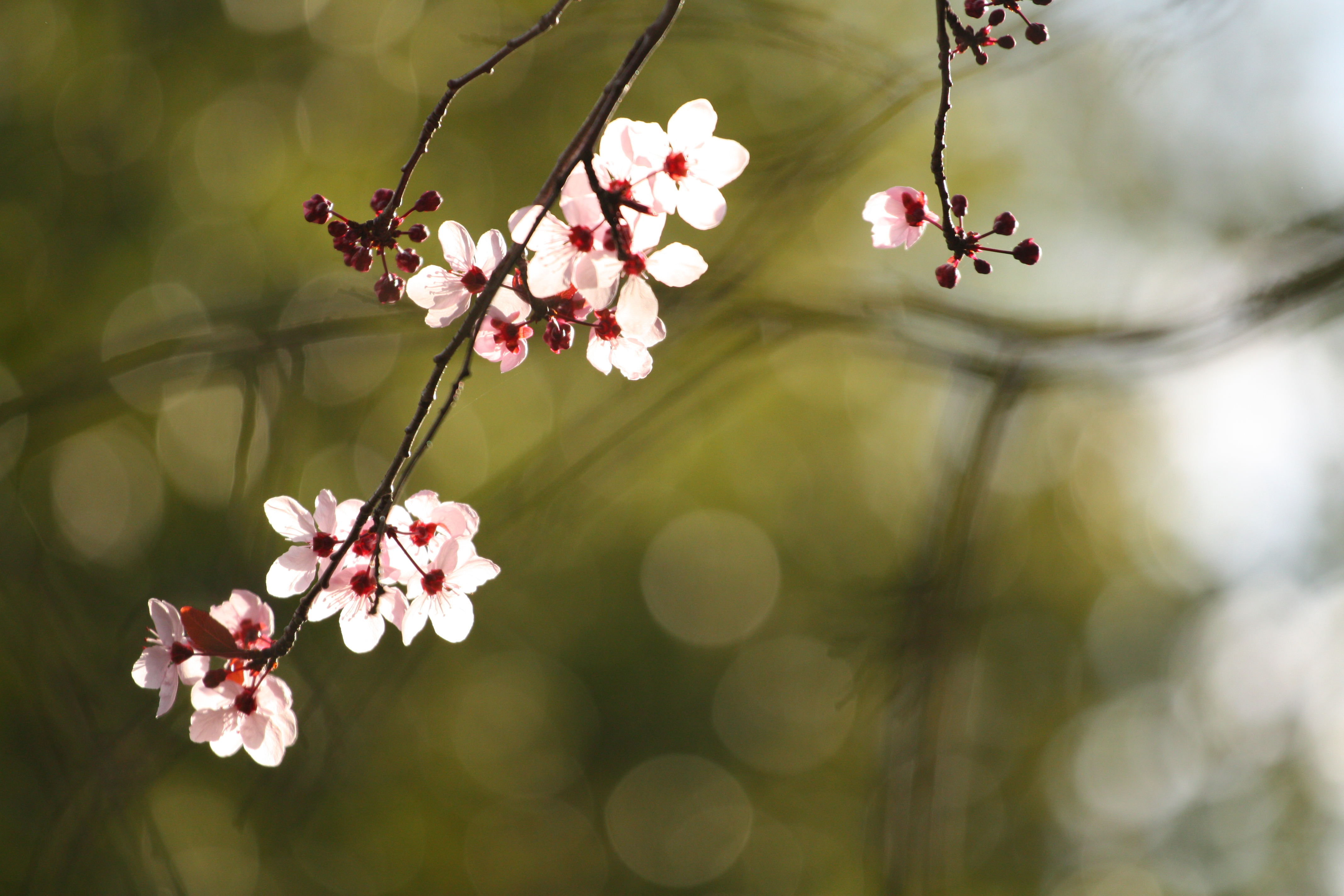 File Plum Blossoms Starting To Bloom Jpg Wikimedia Commons