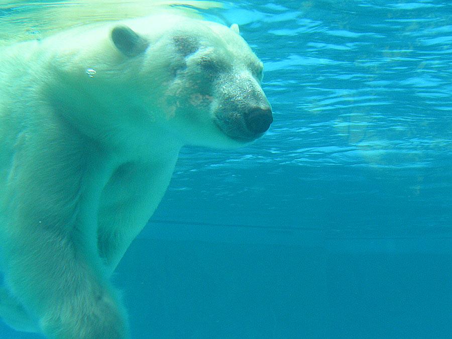 File:Polar Bear Under Water.jpg