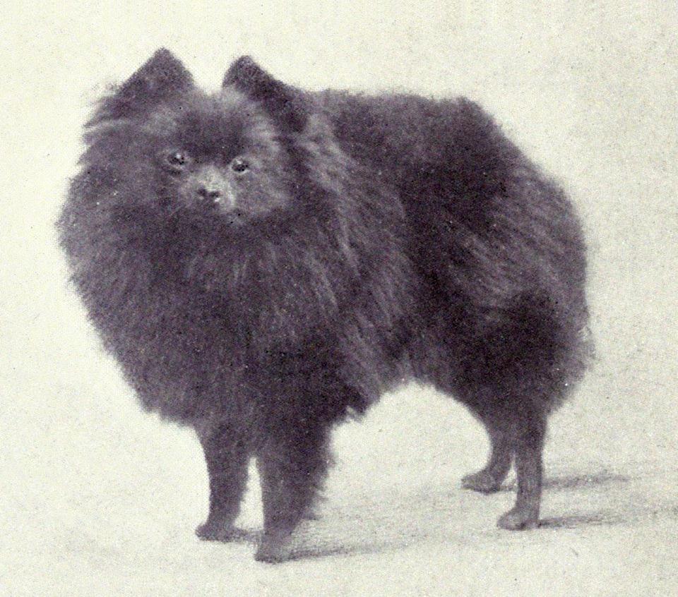Pomeranian (Miniature) from 1915