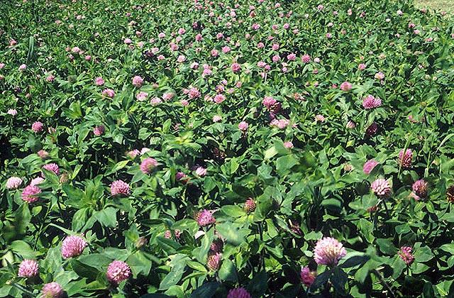 File:Red clover field.jpg
