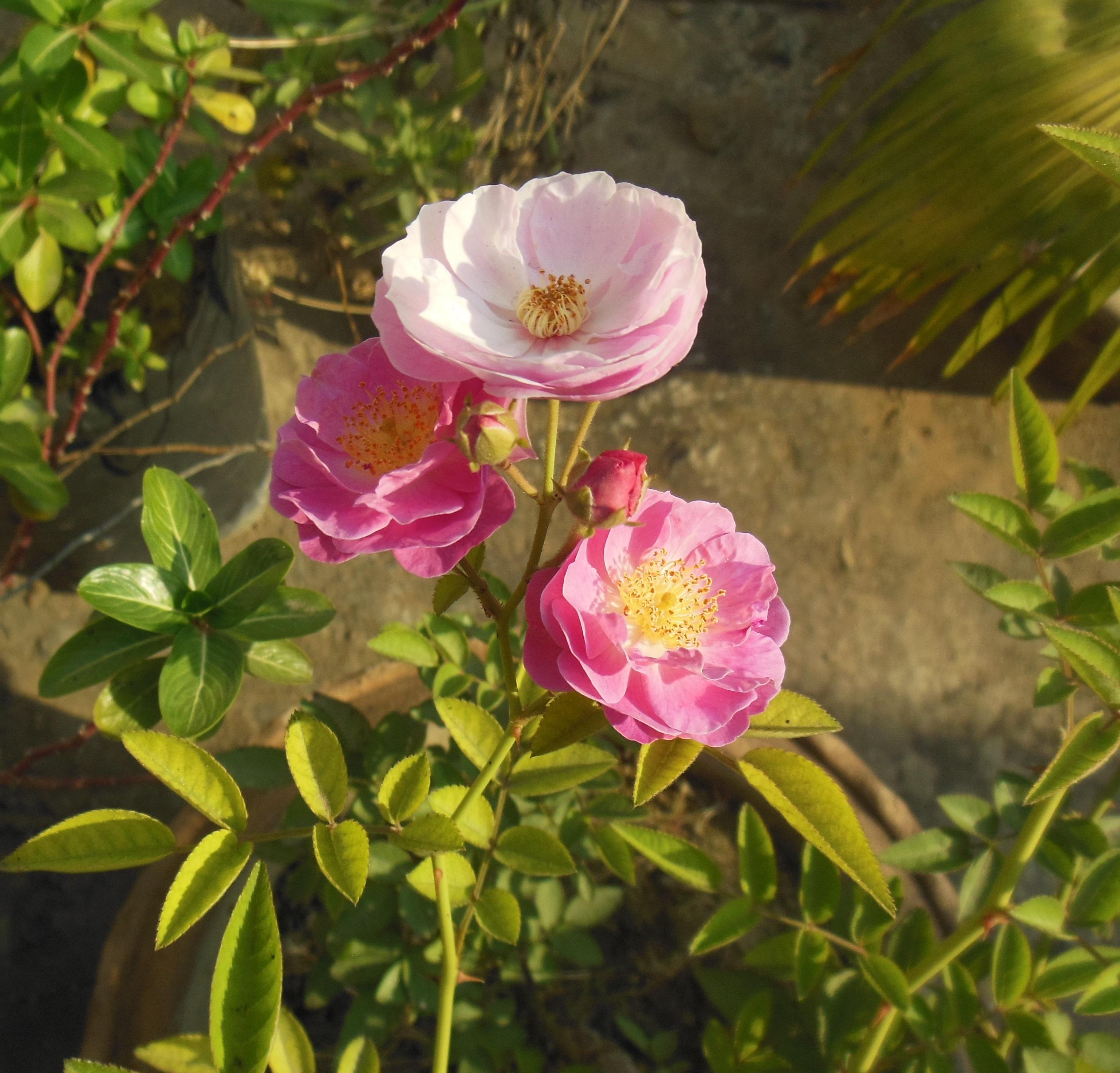 Quante Varietà Di Rose Esistono rosa (botanica) - wikipedia