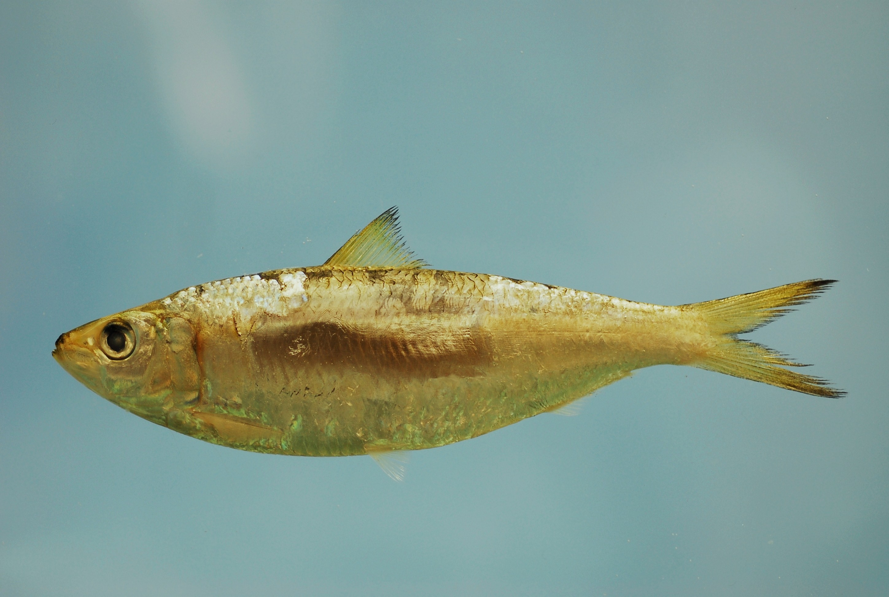 https://upload.wikimedia.org/wikipedia/commons/1/12/Sardinella_aurita.jpg