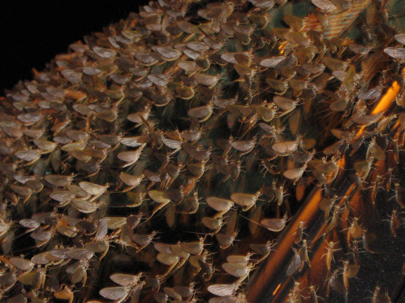 Mayfly swarm (via Wikipedia). It was disturbing. It was also sad.