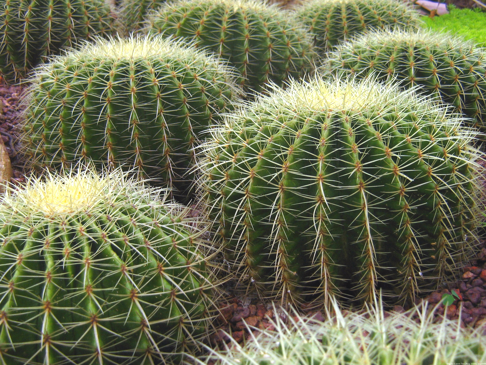 File singapore botanic gardens cactus garden wikipedia - What is cactus plant good for ...