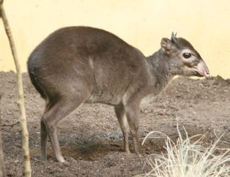 The average adult size of a Maxwell's duiker is  (2' 10