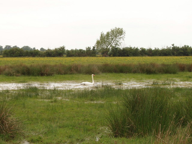 Swan swims in a field, Otmoor - geograph.org.uk - 180612