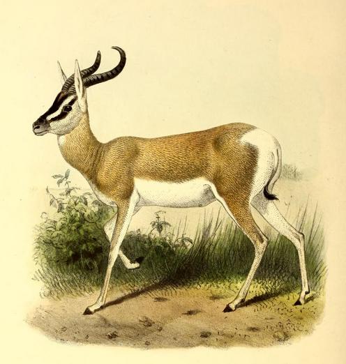 Сомалийская газель — Википедия домен это что
