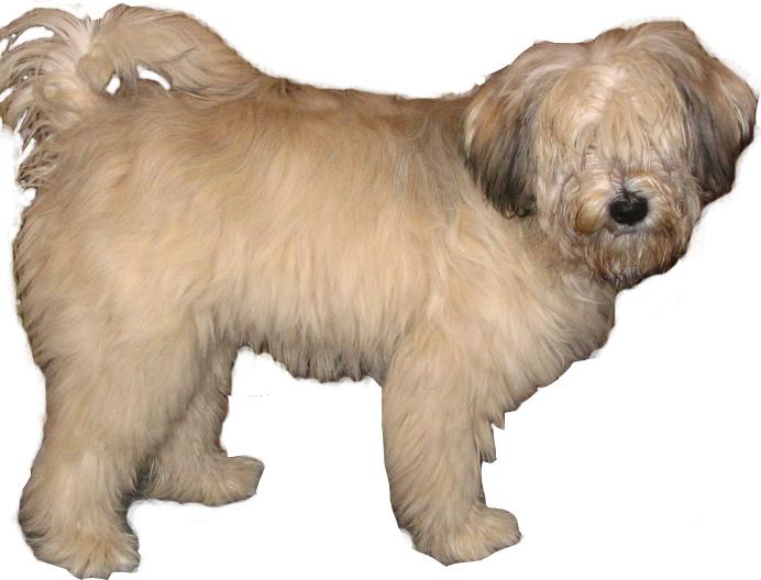 Terrier du Tibet Tibetan-terrier