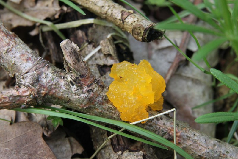 File:Tremella mesenterica, Yellow mushroom or fungus in the mallebos.jpg