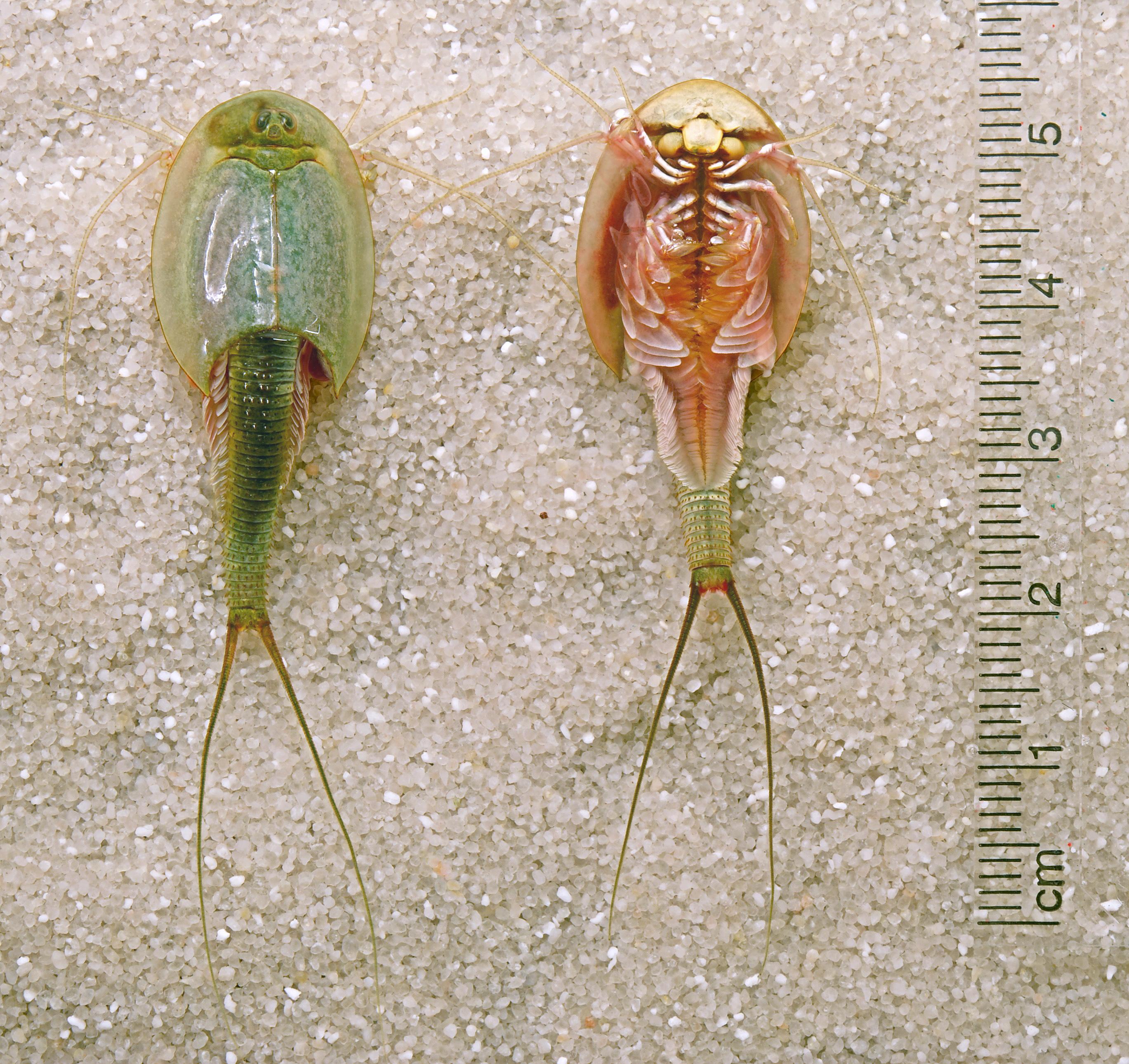 ... commonly called longtail tadpole shrimp american tadpole shrimp
