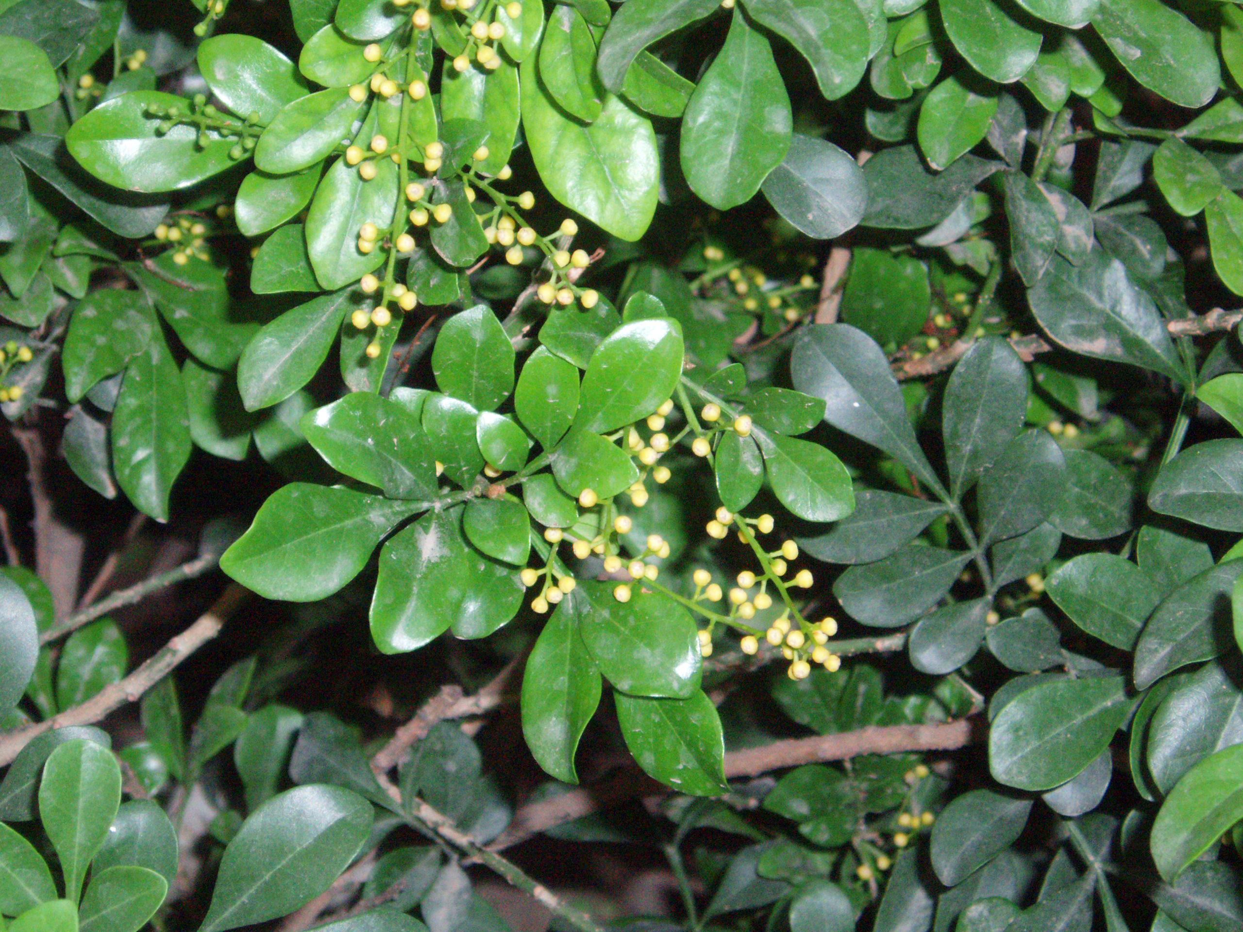Aglaia odorata - Wikipedia