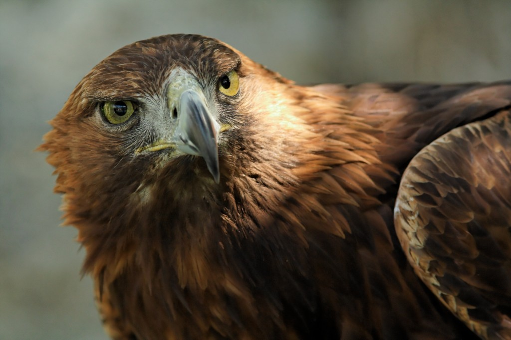 Image Result For Mexican Golden Eagle