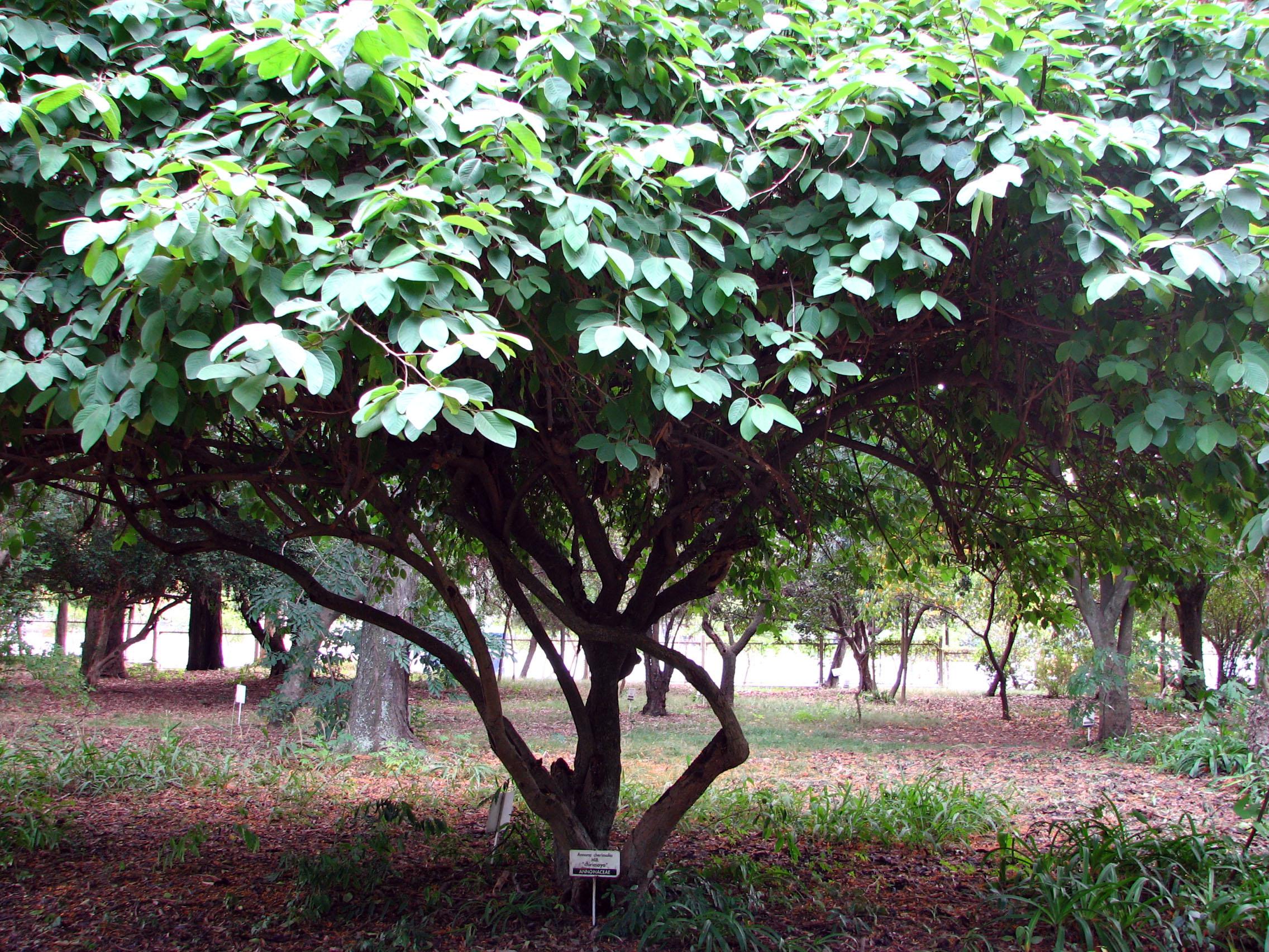 Le bonsaï pour les nuls... Annona_cherimola,_tree