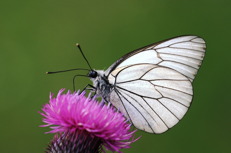 File:Aporia%20crataegi%20-%20Black-veined%20White%20butterfly.jpg