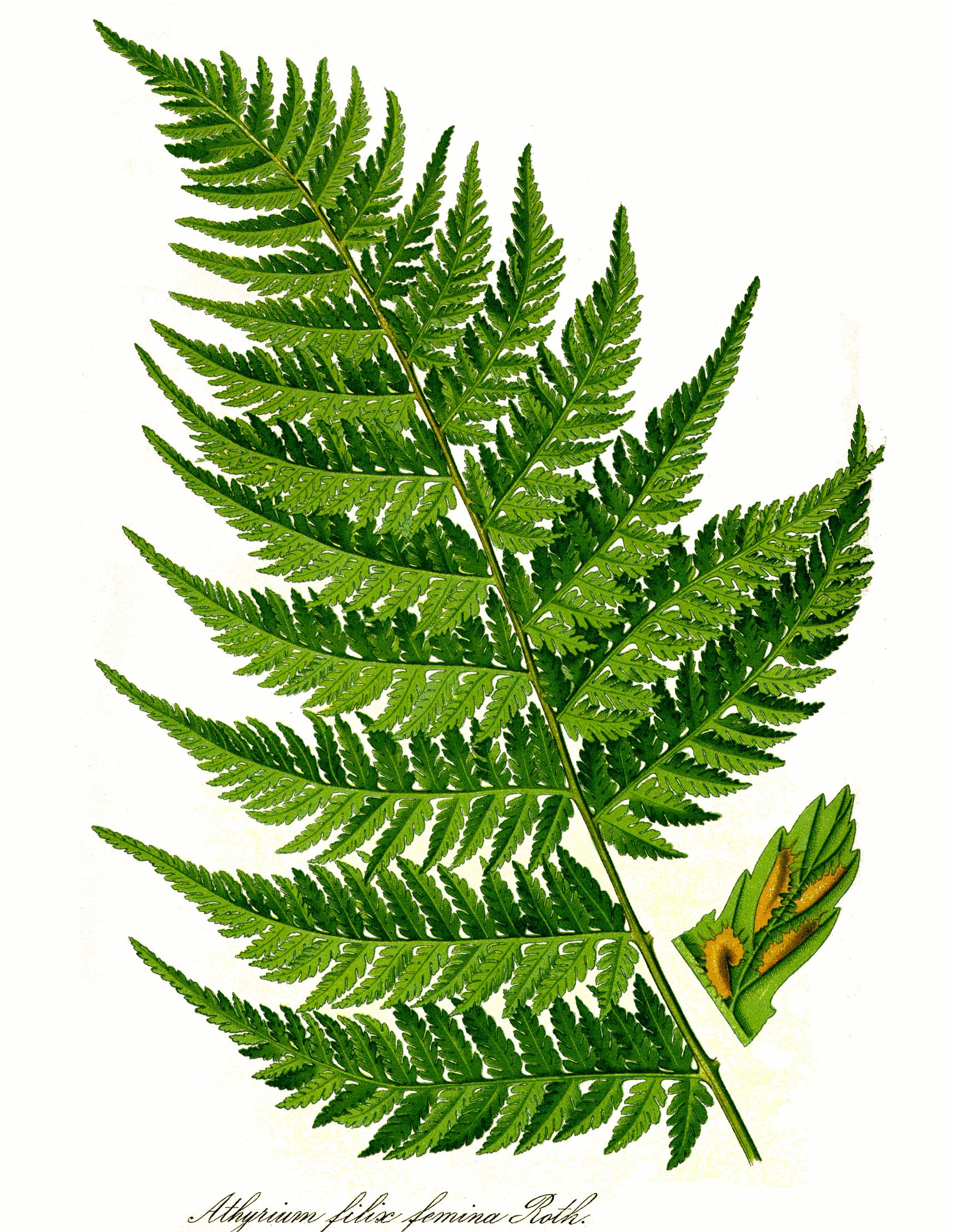 File:Athyrium filix-femina leaf png - Wikimedia Commons